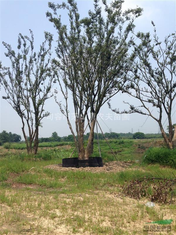 江苏丛生朴树,朴树,朴树价格 - 苗木供应信息 - 句容