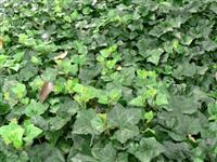藤本植物报价肾蕨、紫藤、凌霄、爬山虎、五叶地锦、美国地锦