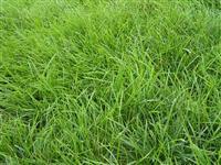 批发快乐赛车开奖美国原装进口百喜草 百喜草草坪种子 暖季型草坪
