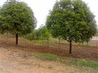 径2-50公分梅花、银桂、绣球松、花柏、槐树、核桃树、柳树