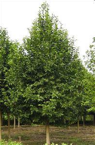 径2-50公分椿树、柏树、松树、杨树、火炬树、板栗树、梨树