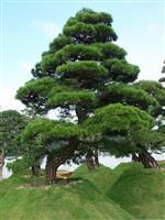 径2-50公分桃树、杏树、构树、榆树、石楠树、桂花树、梅花树