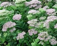 冠高1-3米黄刺玫、山茶花、紫穗槐、六道木、金银木、天目琼花