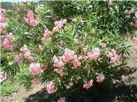 冠高1-3米荚蒾、八宝景天、木芙蓉、胡颓子、黄栌、海州常山
