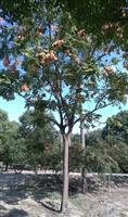 低价供应精品黄山栾树,茶花,美国红枫,香樟,大叶女贞等行道树