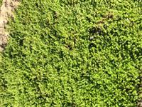 垂盆草是替代草坪的新时代产物,垂盆草耐寒抗旱耐盐碱!