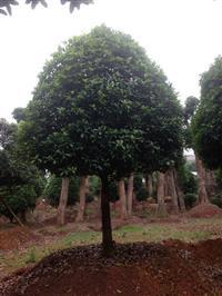 湖南桂花、15公分移栽桂花、12cm八月桂花、10cm桂花树