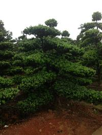 12cm造型罗汉松、15cm造型罗汉松树、18公分造型罗汉树