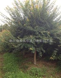 浙江鸡爪槭规格齐全 鸡爪槭价格优惠