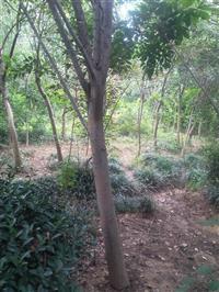西府海棠树,西府海棠苗,西府海棠