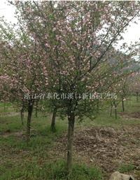本基地长期低价供应垂丝海棠等绿化苗木 欢迎选购