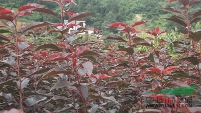 首页 绿化苗木频道 苗木供应 绿化苗木 乔木 红叶樱花图片红叶樱花