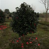 长期低价供应茶花等绿化苗木 欢迎实地选购