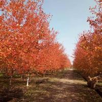 浙江美国红枫基地 苗圃长期低价供应美国红枫
