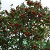 径2-50公分行道树楸树报价、楸树定价、楸树售价、楸树价格表