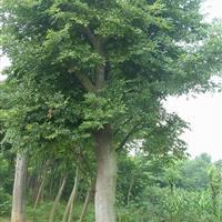 冠高1-3米梨花海棠、含笑球、盆景、柿子树、万年青、黄连木