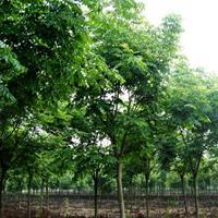 河南許昌大量供應10--18公分的截頭欒樹