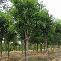 河南许昌大量供应0.8-12公分的国槐 自家苗圃