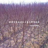 安徽红叶桃 肥西红叶桃供货商 红叶桃3公分 红叶桃5公分供应
