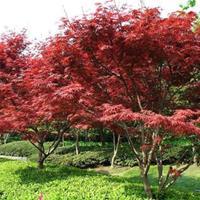 红枫、美国红枫