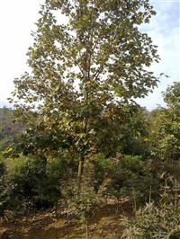 供應馬褂木