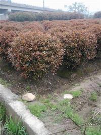 紅葉石楠 (球、色塊、盆苗、地苗)