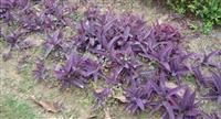 紫叶鸭跖草,别名:紫叶草、紫竹梅、紫锦草 紫叶鸭趾草