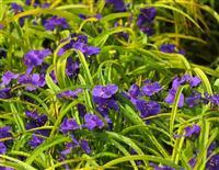 金叶紫露草 白花紫露草、紫花紫露草