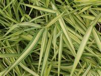 玉带草,别名花草,花茅毛,五色带,银边草,彩叶芦竹