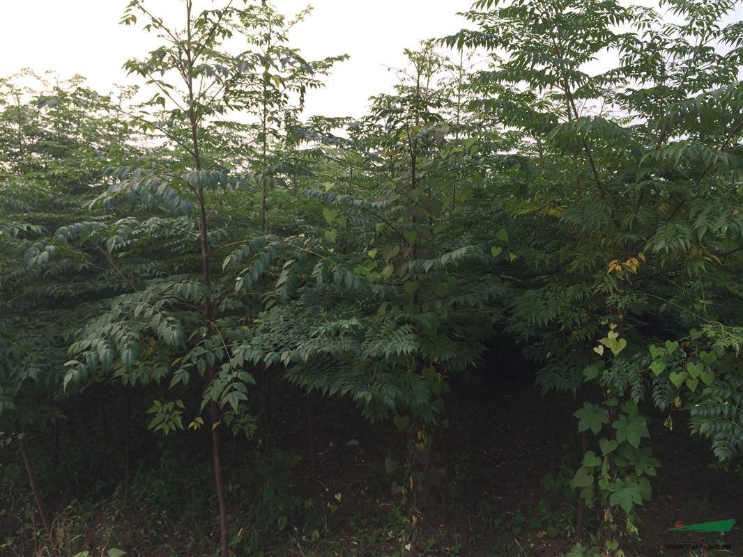首页 绿化苗木频道 苗木供应 绿化苗木 乔木 供应臭椿,苦楝两年生苗