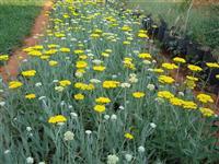 大黄蓍草 红花蓍草 杂黄蓍草 千叶蓍