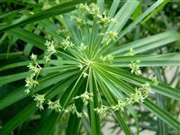 旱伞草 又称 水竹
