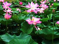 荷花 又名莲花、水芙蓉