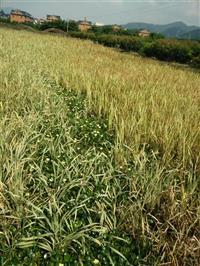 杭州供应再力花,西伯利亚鸢尾,大花美人蕉,自产自销。