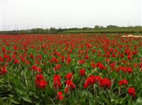 杭州水生苗再力花,批发,千屈菜,花叶芦竹,美人蕉,旱伞草等