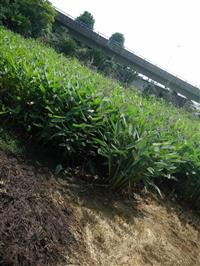 萧山供应再力花,黄菖蒲,美人蕉,千屈菜,水葱西伯利亚鸢尾。