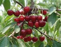 3公分樱桃树最低价格・3公分樱桃树最低价格供应・山西樱桃树
