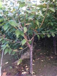5公分樱桃树价格・6公分樱桃树价格供应・山西地区樱桃树
