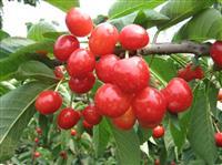 出售3-6公分樱桃树价格详情 出售6-10公分樱桃树价格出售