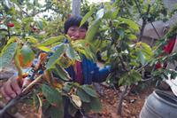 6公分樱桃树价格详情・8公分樱桃树价格列表・供应山西樱桃树