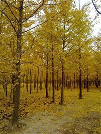 供應8公分銀杏價格便宜·8公分銀杏*低價格供應·山西銀杏樹