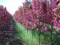 山西地區供應米徑5-8公分西府海棠價格