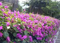三角梅 别名:九重葛、三叶梅、三角花、叶子花、叶子梅