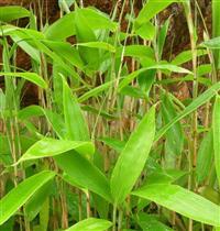 箬竹,别名米箬竹、�O叶、粽巴叶、若竹、箬叶竹、檐竹