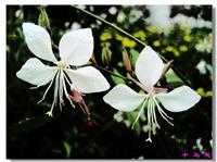 山桃草、千鸟花、青叶千鸟花、紫叶千鸟花、白桃花、白蝶
