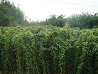 油麻藤 牛马藤、常绿油麻藤、大血藤