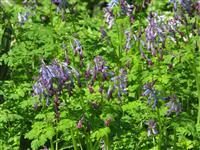 刻叶紫堇 别称:地锦苗、断肠草、羊不吃、紫花鱼灯草