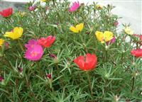 太阳花 别称半支莲,松叶牡丹、龙须牡丹、洋马齿苋