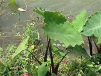 紫芋  野芋