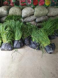 大量供应美人蕉,黄菖蒲,慈姑,花叶芦竹和其它水生植物